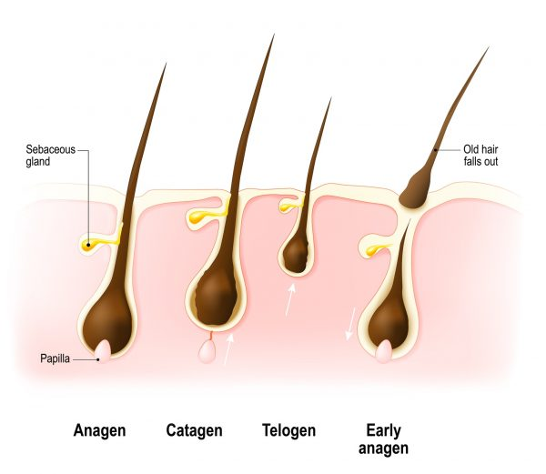 stages of hair growth cycle graphic illustration anagen telogen catagen skin hairs labels the seasonal hair shedding cycle viviscal hair blog
