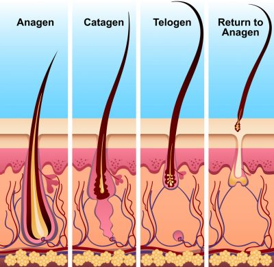 Four stages of the hair growth cycle. Hair growth phase step by step vector illustration. Anagen telogen catagen return to anagen. Hair and medicine concept Viviscal Blog